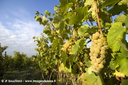 Vendanges-Vignes021